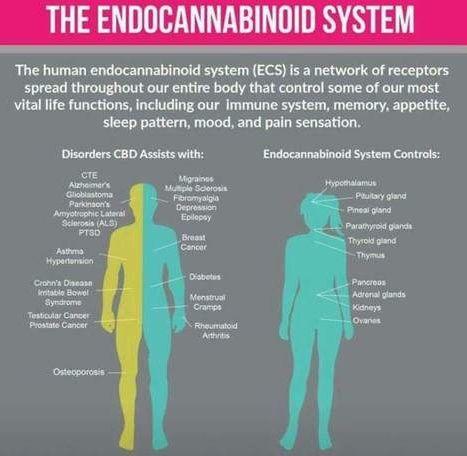 CBD and Human Endocannabinoid system